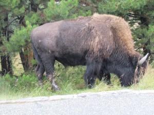 Bison Custer Park